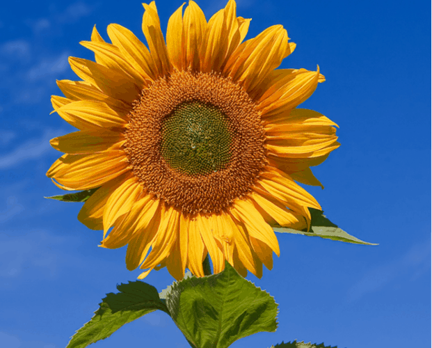 How Do Sunflowers Work?